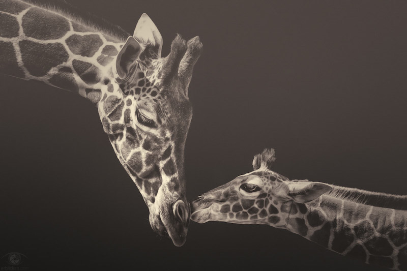 African Souls Baby Giraffe and Mother Manuela Kulpa Stefan Kulpa Erblicken