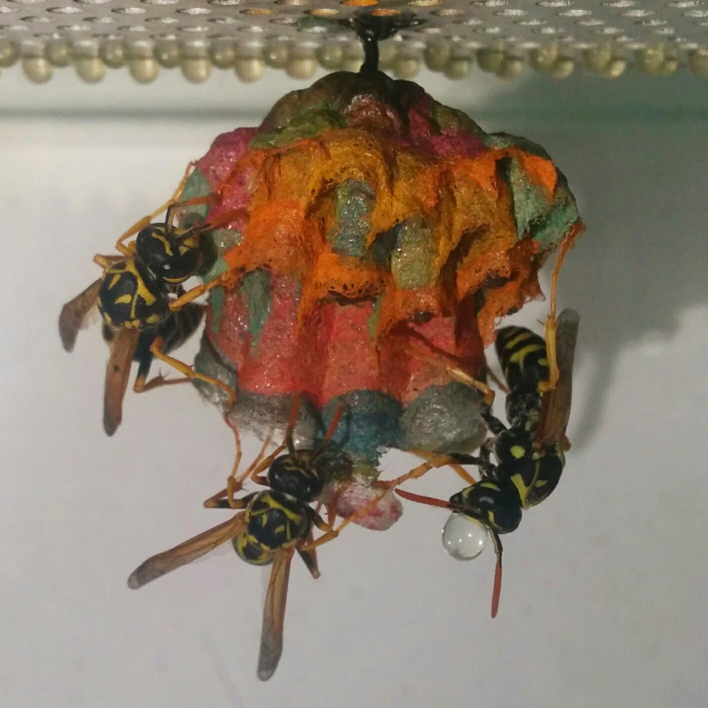 Colorful Wasp Nest Stage 4