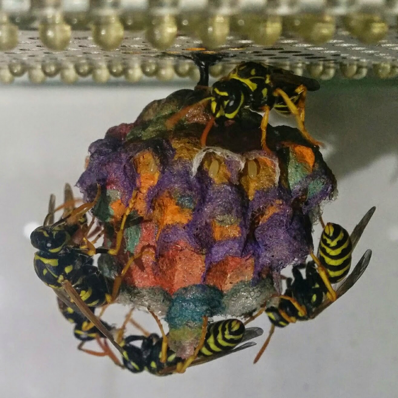 Colorful Wasp Nest Stage 6
