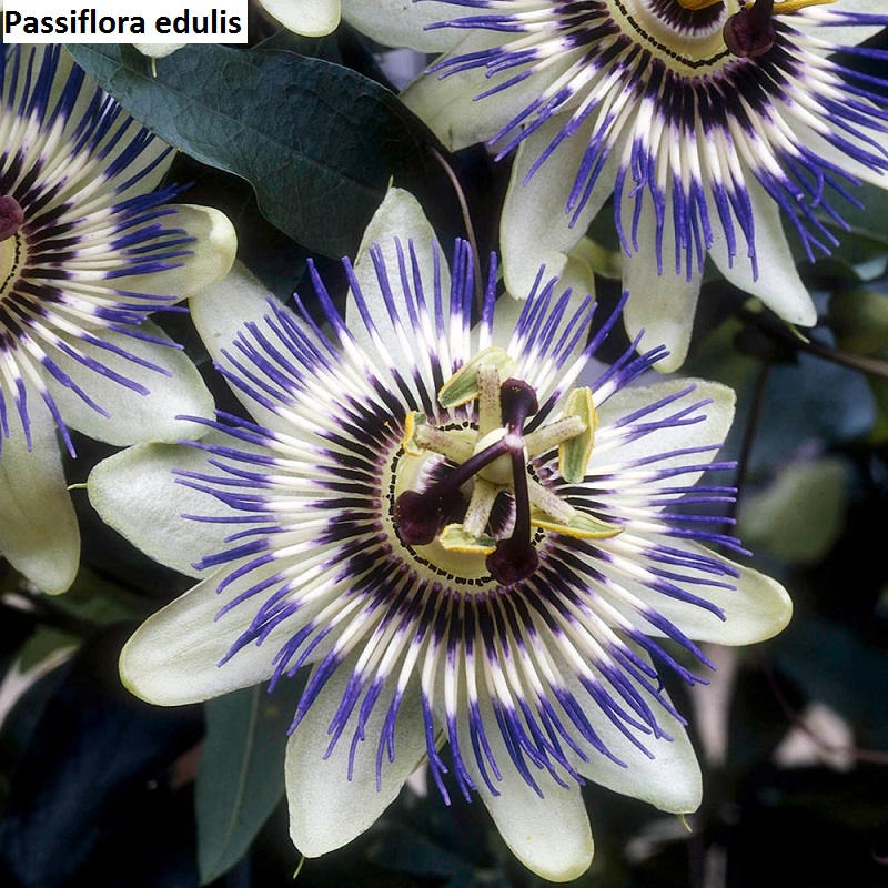 UnusualSeeds Rare Passion Flower Seeds